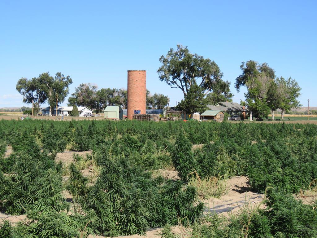 Organic Hemp Field for additional photo 45